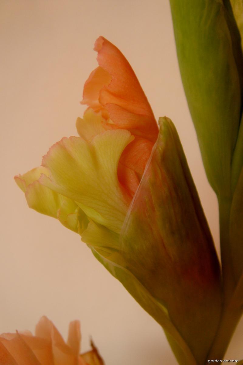 Mečík šlechtěný - nerozvinutý (Gladiolus)