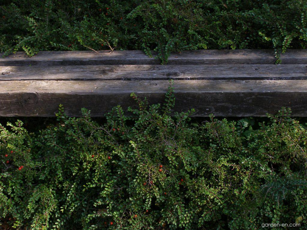 cotoneaster cotoneaster adpressus garden. Black Bedroom Furniture Sets. Home Design Ideas