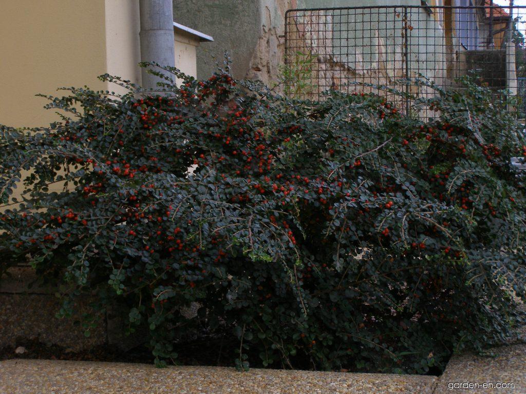 cotoneaster cotoneaster horizontalis robusta garden. Black Bedroom Furniture Sets. Home Design Ideas
