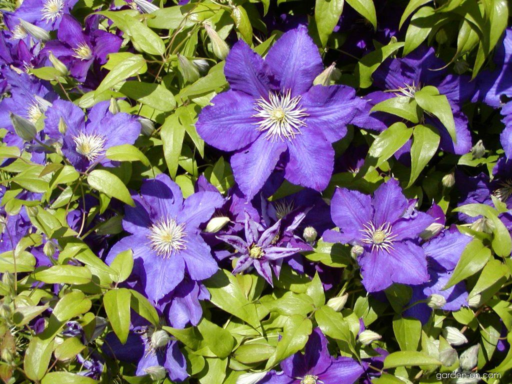 clematis clematis patens the president garden. Black Bedroom Furniture Sets. Home Design Ideas