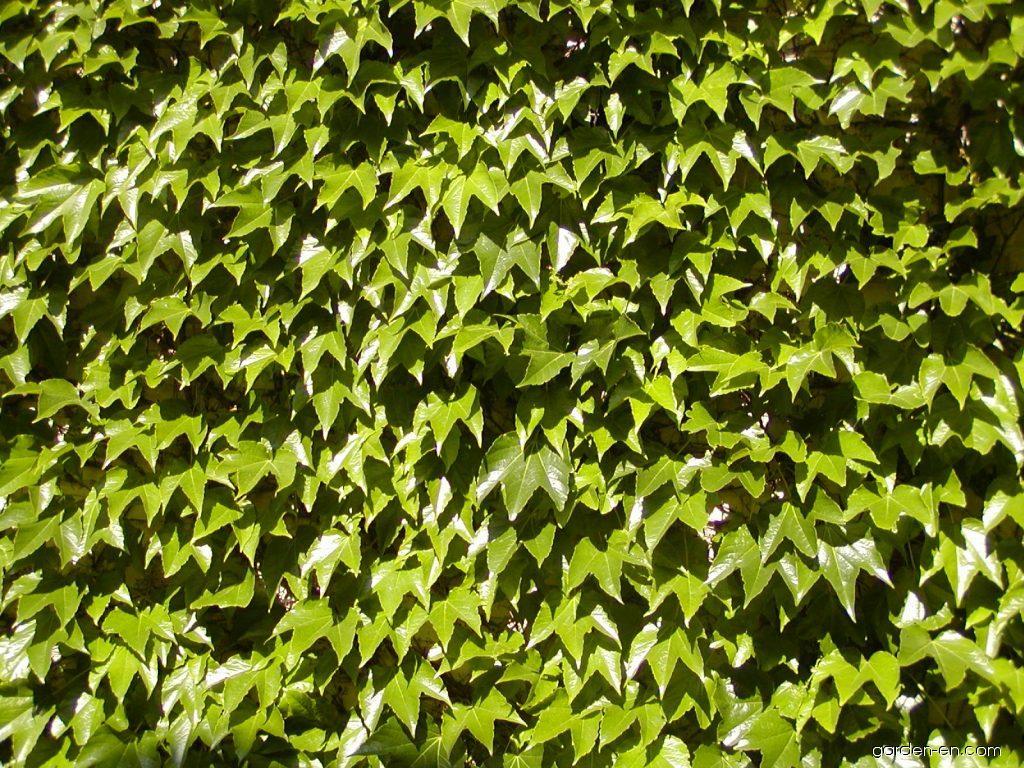 boston ivy parthenocissus tricuspidata veitchii garden. Black Bedroom Furniture Sets. Home Design Ideas
