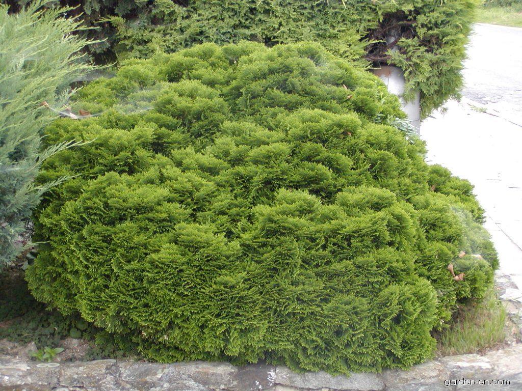 cypress chamaecyparis obtusa nana gracilis garden. Black Bedroom Furniture Sets. Home Design Ideas