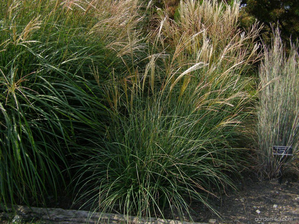 chinese silvergrass miscanthus sinensis adagio garden. Black Bedroom Furniture Sets. Home Design Ideas