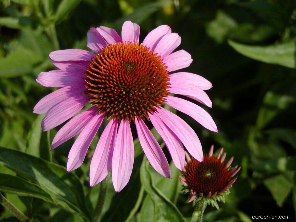 echinacea purpurea magnus purple coneflower garden. Black Bedroom Furniture Sets. Home Design Ideas