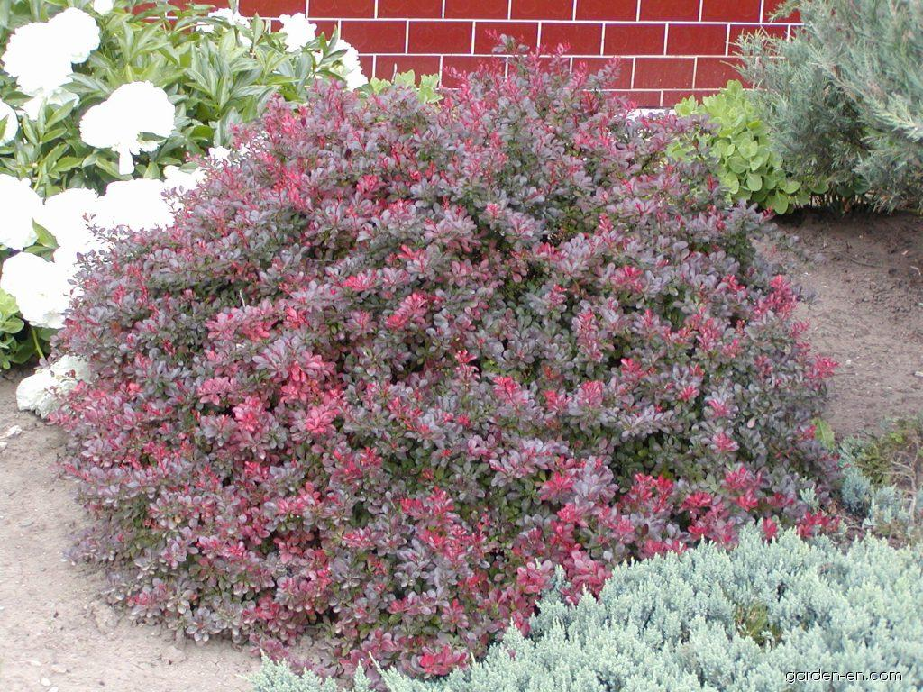 japanese barberry berberis thunbergii atropurpurea nana garden. Black Bedroom Furniture Sets. Home Design Ideas