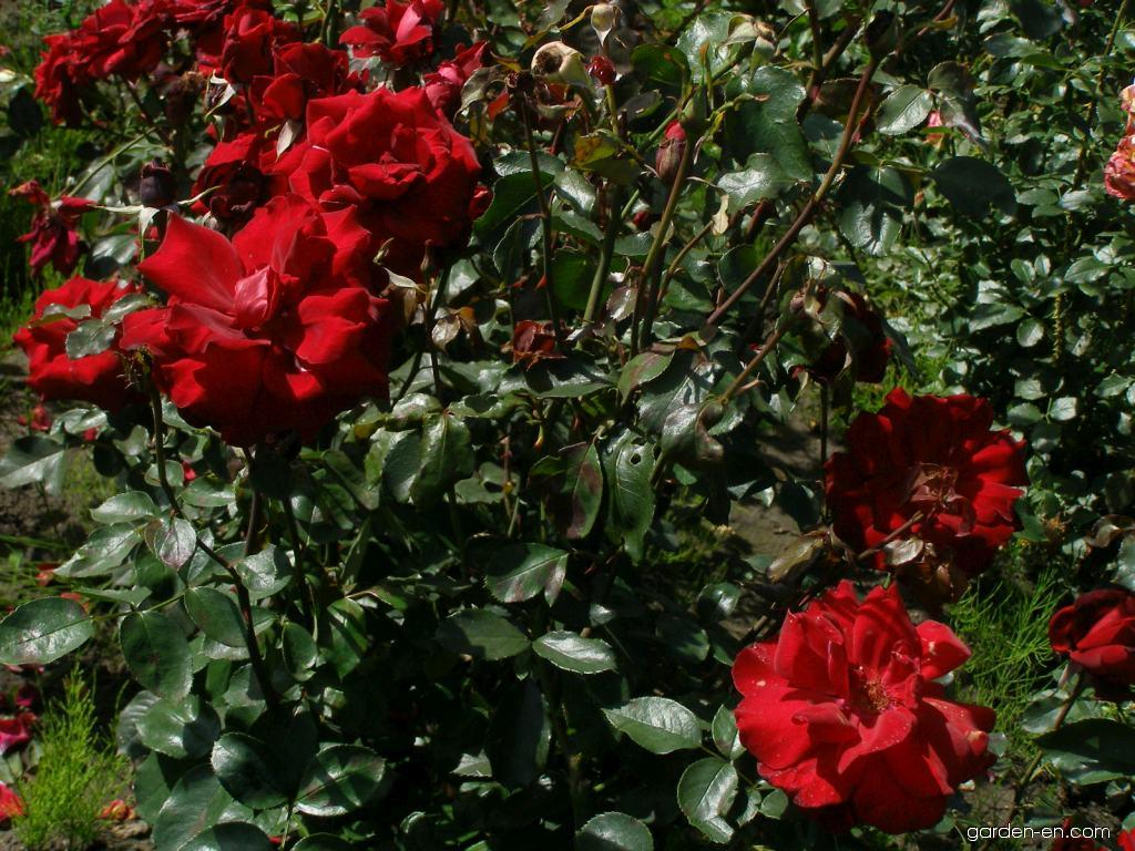 rose rosa le rouge et le noir garden. Black Bedroom Furniture Sets. Home Design Ideas