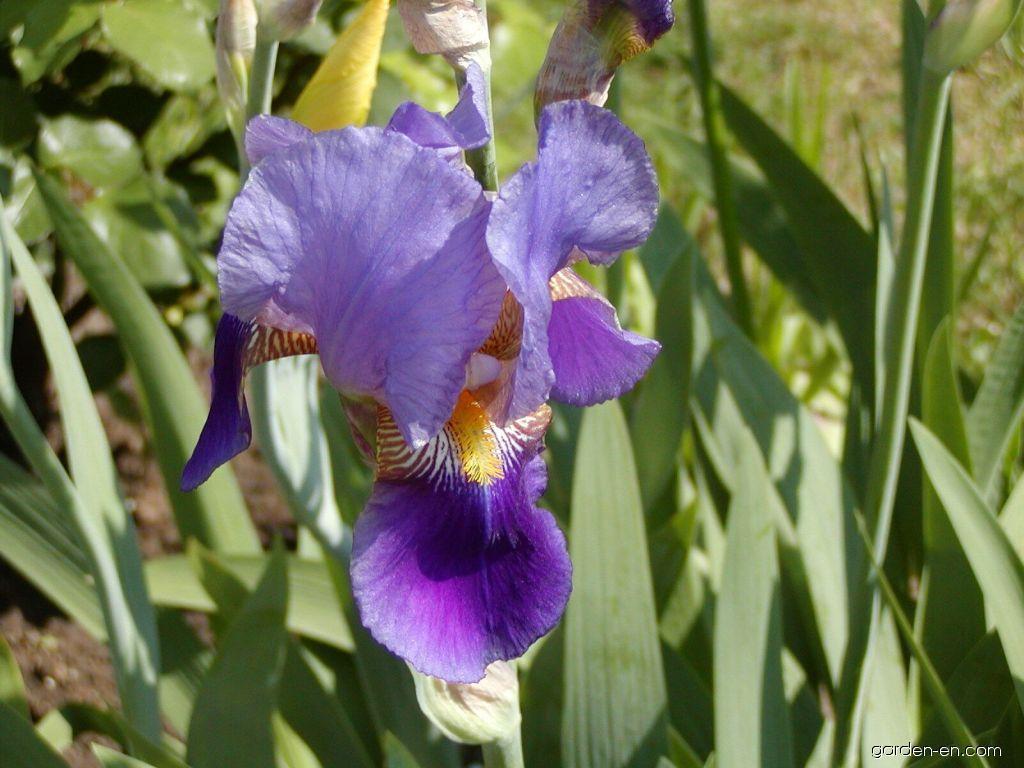 Iris - Iris x germanica