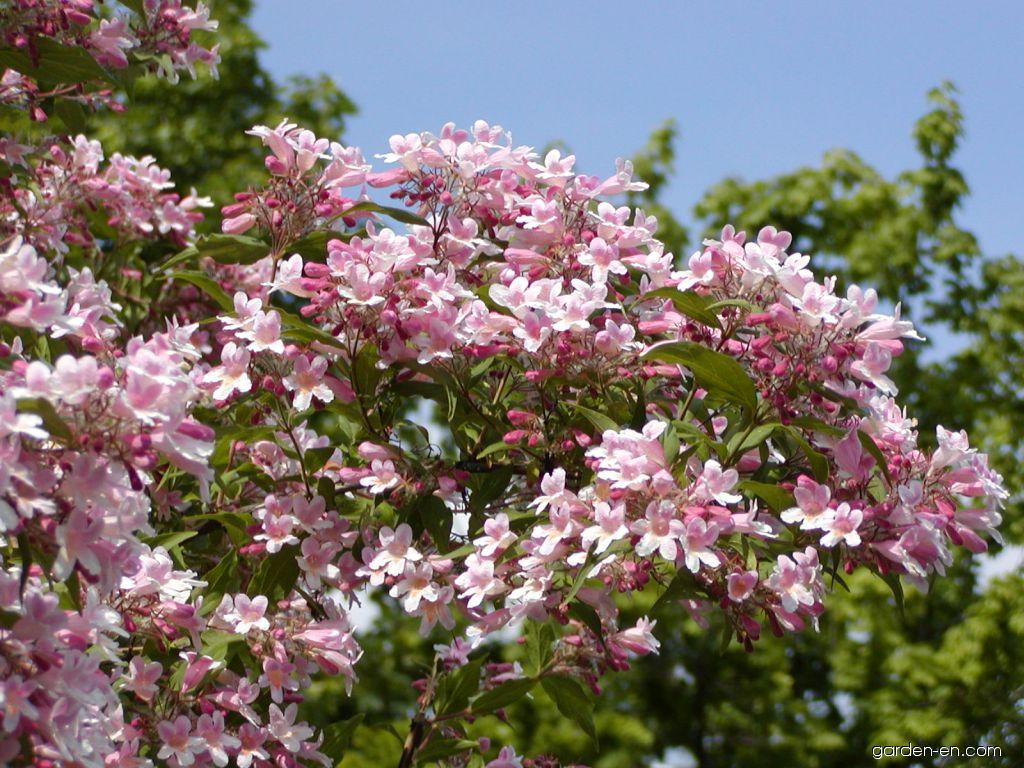 Kolkwitzia amabilis Pink Cloud (Beauty Bush)