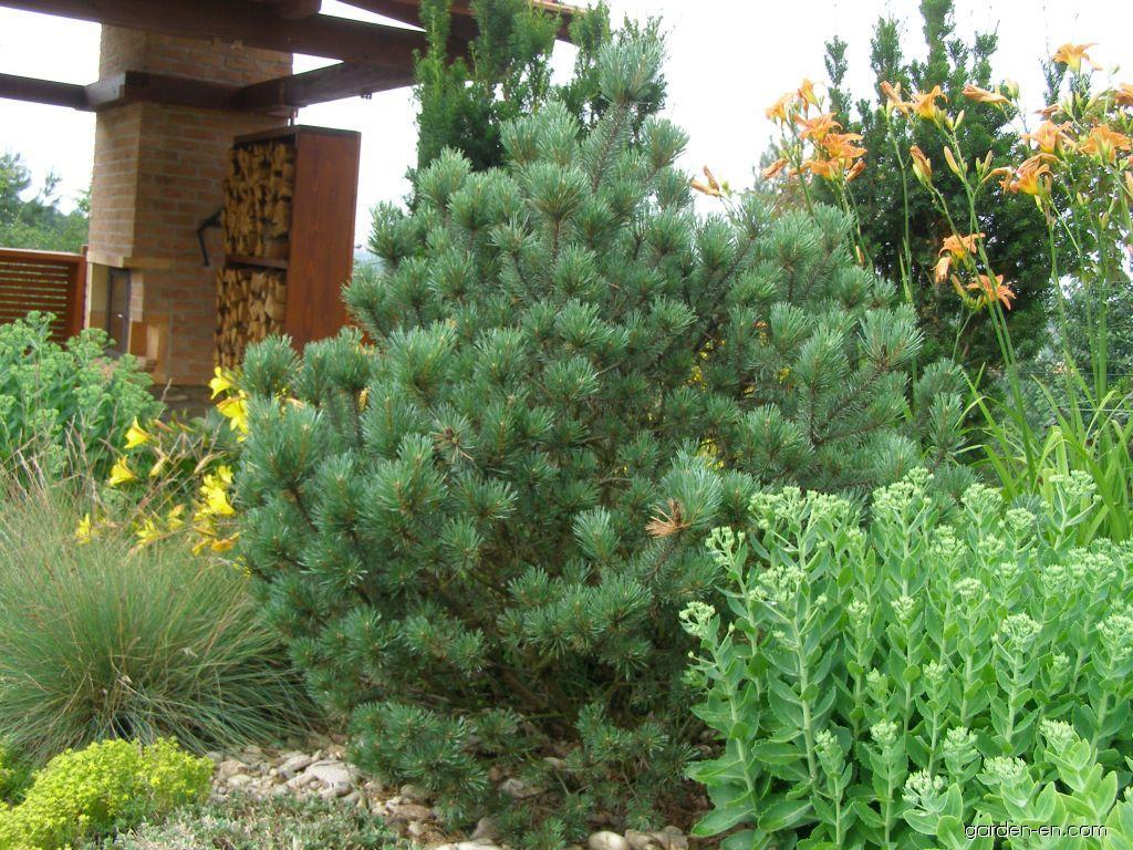scots pine pinus sylvestris watereri garden. Black Bedroom Furniture Sets. Home Design Ideas