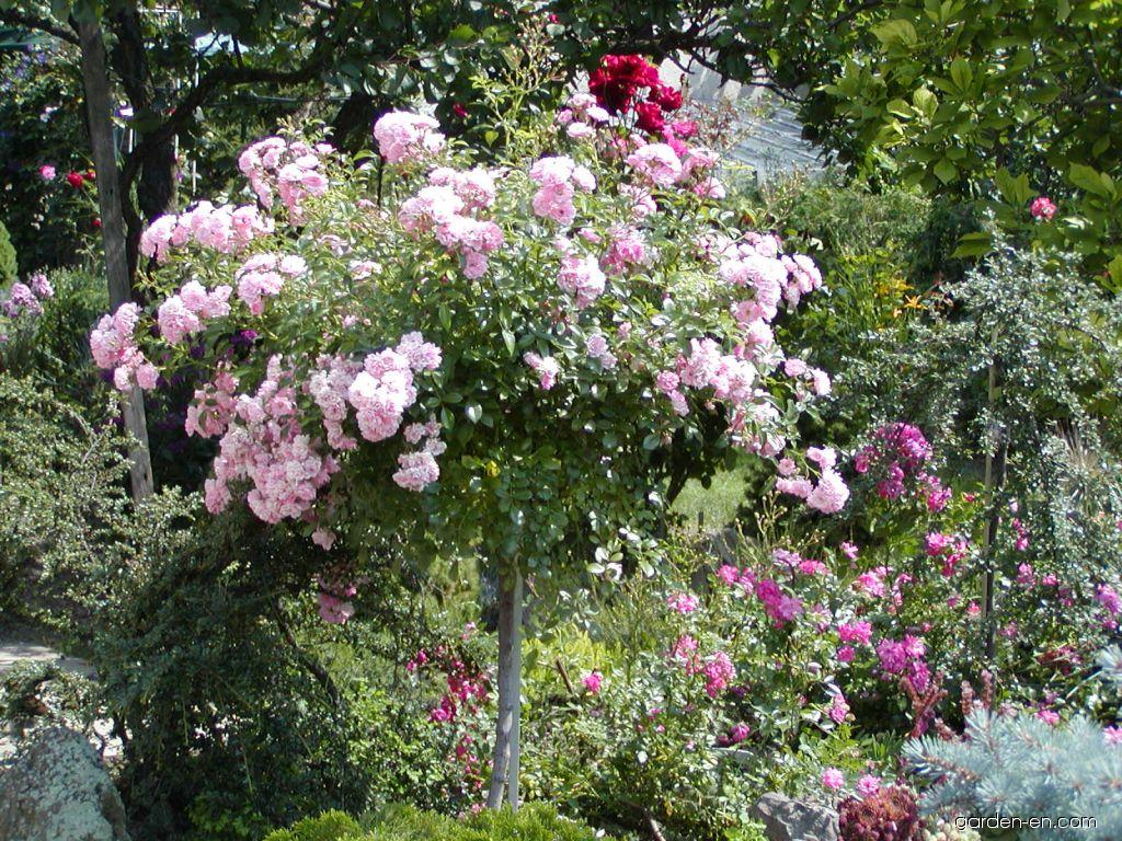rose rosa the fairy garden. Black Bedroom Furniture Sets. Home Design Ideas