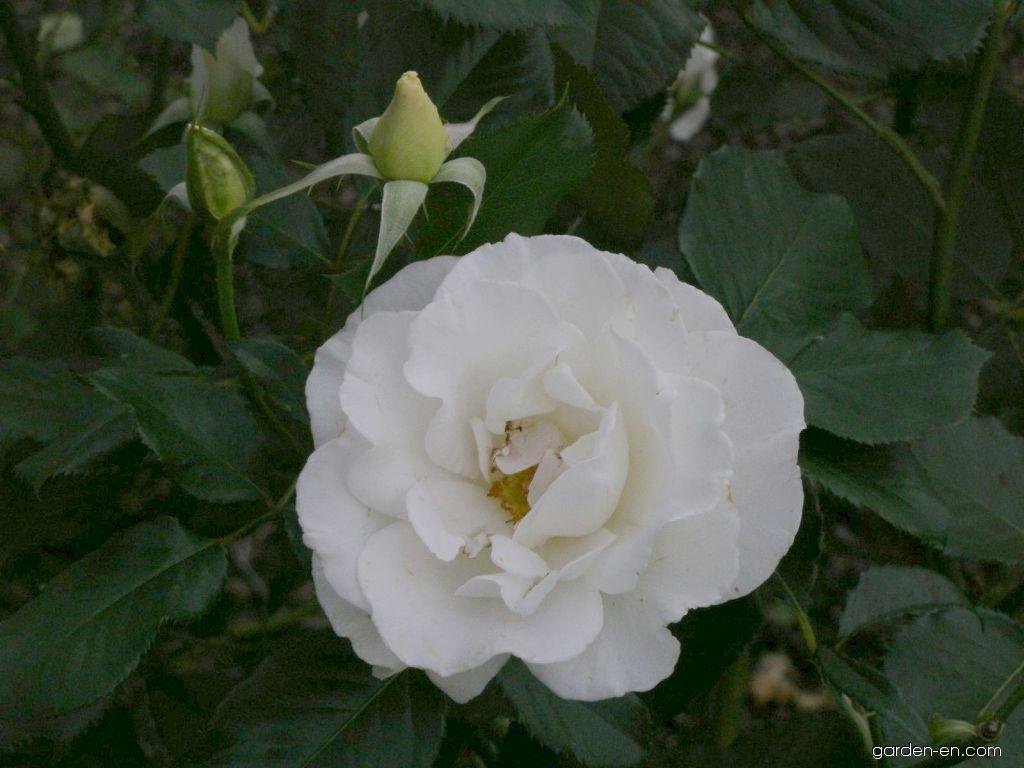 rose rosa margaret merril garden. Black Bedroom Furniture Sets. Home Design Ideas