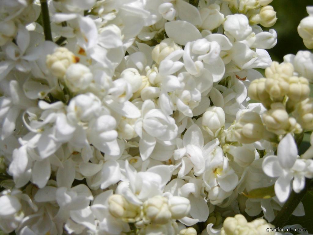 Common Lilac - Syringa vulgaris Madame Lemoine