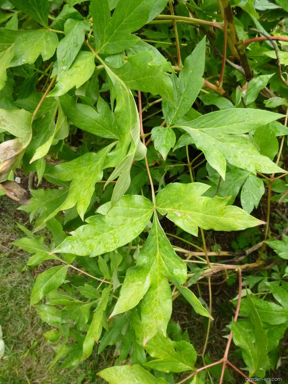 Chinese Peony - Paeonia lactiflora
