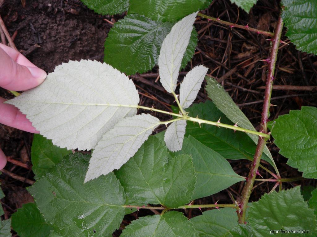 Ostružiník křovitý - listy (Rubus fruticosus)