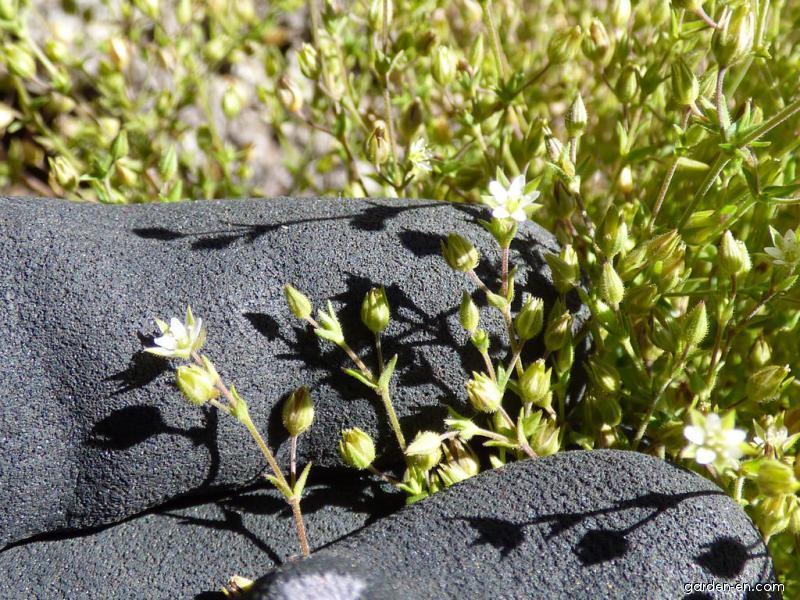 Thymeleaf sandwort - flowers and leaves (Arenaria serpyllifolia)