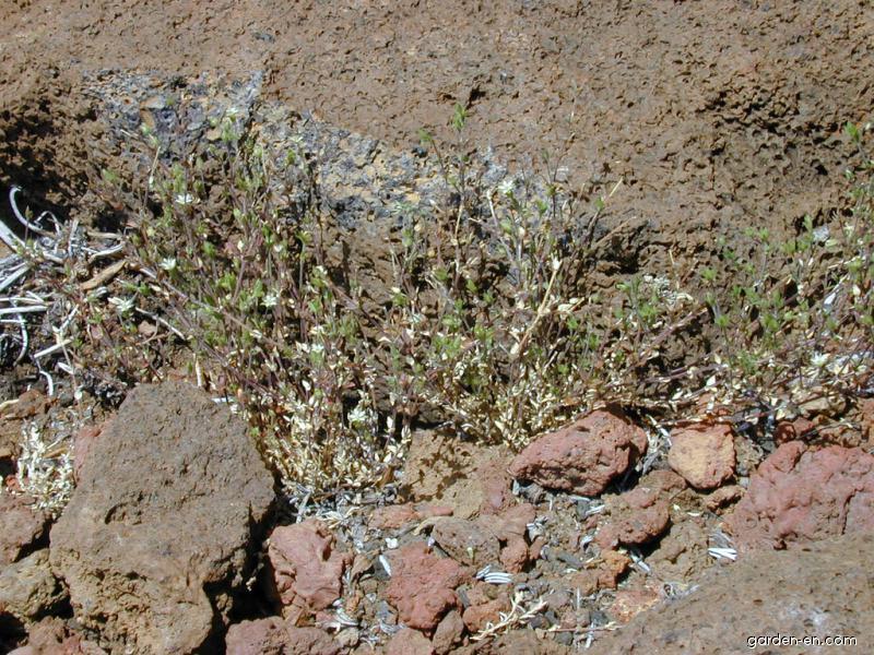 Thymeleaf sandwort - habit (Arenaria serpyllifolia)