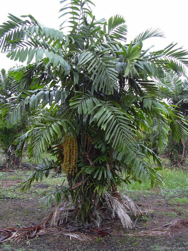 Philippine Dwarf Sugar Palm - habit (Arenga tremula)