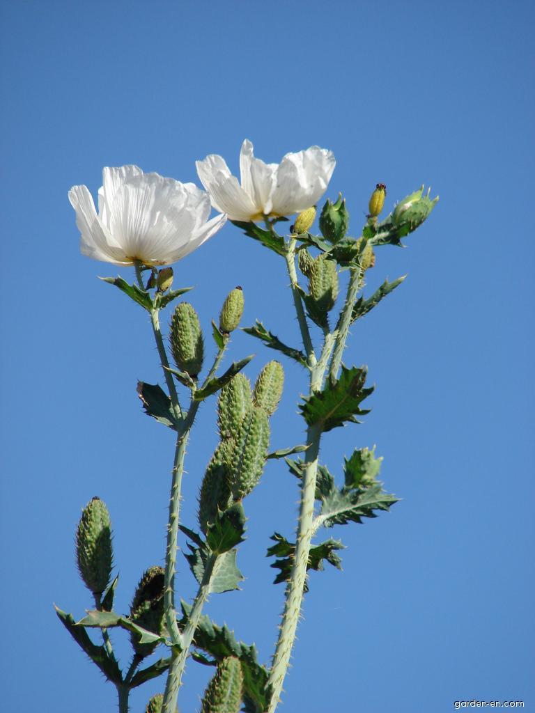 Pua kala - flowering habit (Argemone glauca)