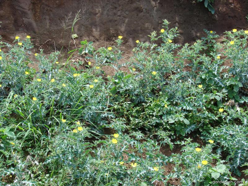 Mexican poppy - flowering habit (Argemone mexicana)