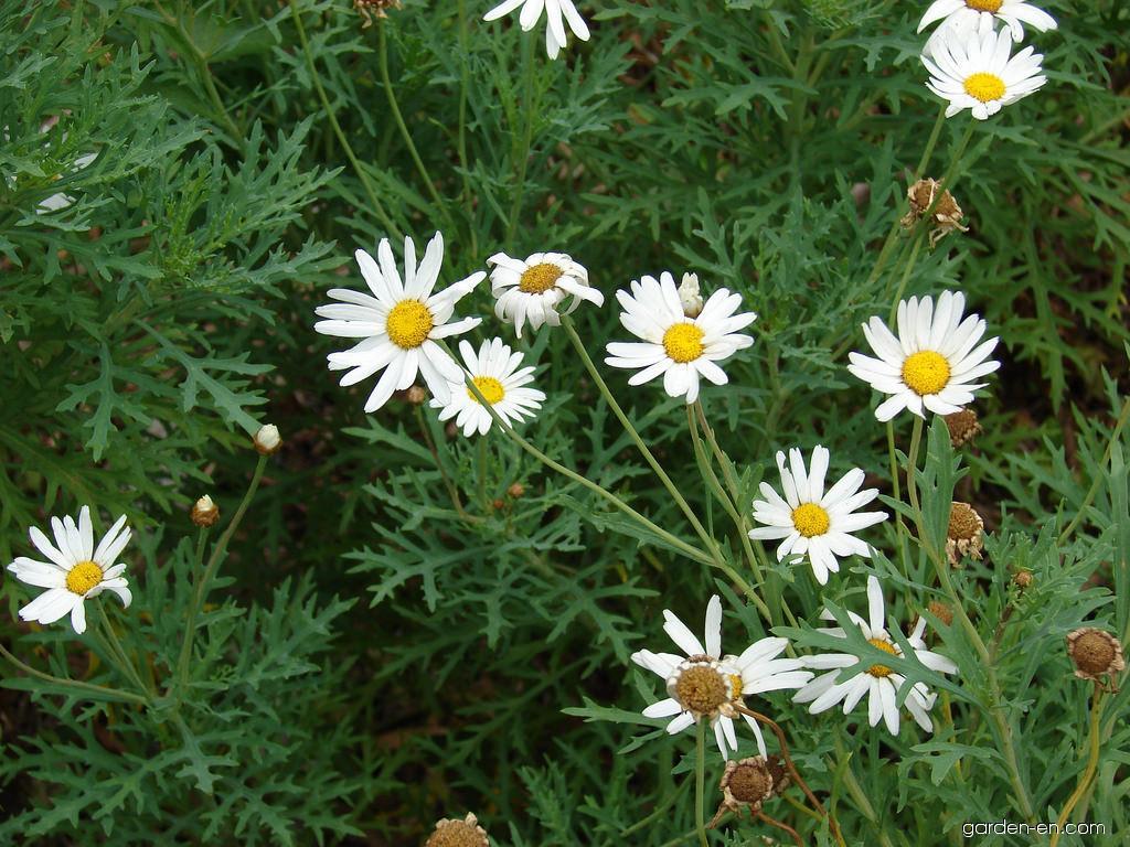 Paris daisy - flowers and leaves (Argyranthemum frutescens)