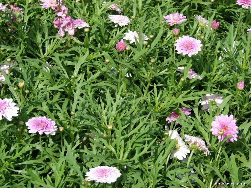 Paris daisy - Cobbity daisy summer melody flowers and leaves (Argyranthemum frutescens)