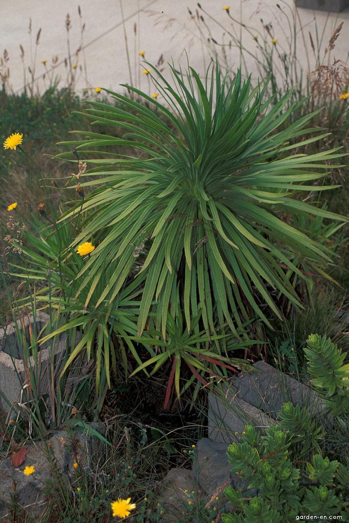 Greensword - habit (Argyroxiphium grayanum)