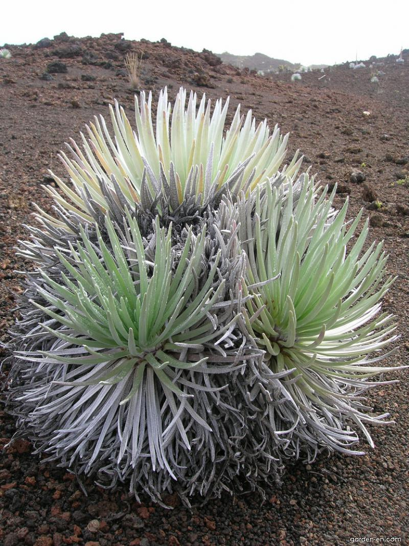 Haleakala silversword - cluster (Argyroxiphium sandwicense subsp macrocephalum)