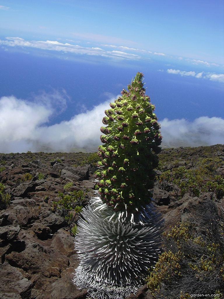 Haleakala silversword - flowering (Argyroxiphium sandwicense subsp macrocephalum)