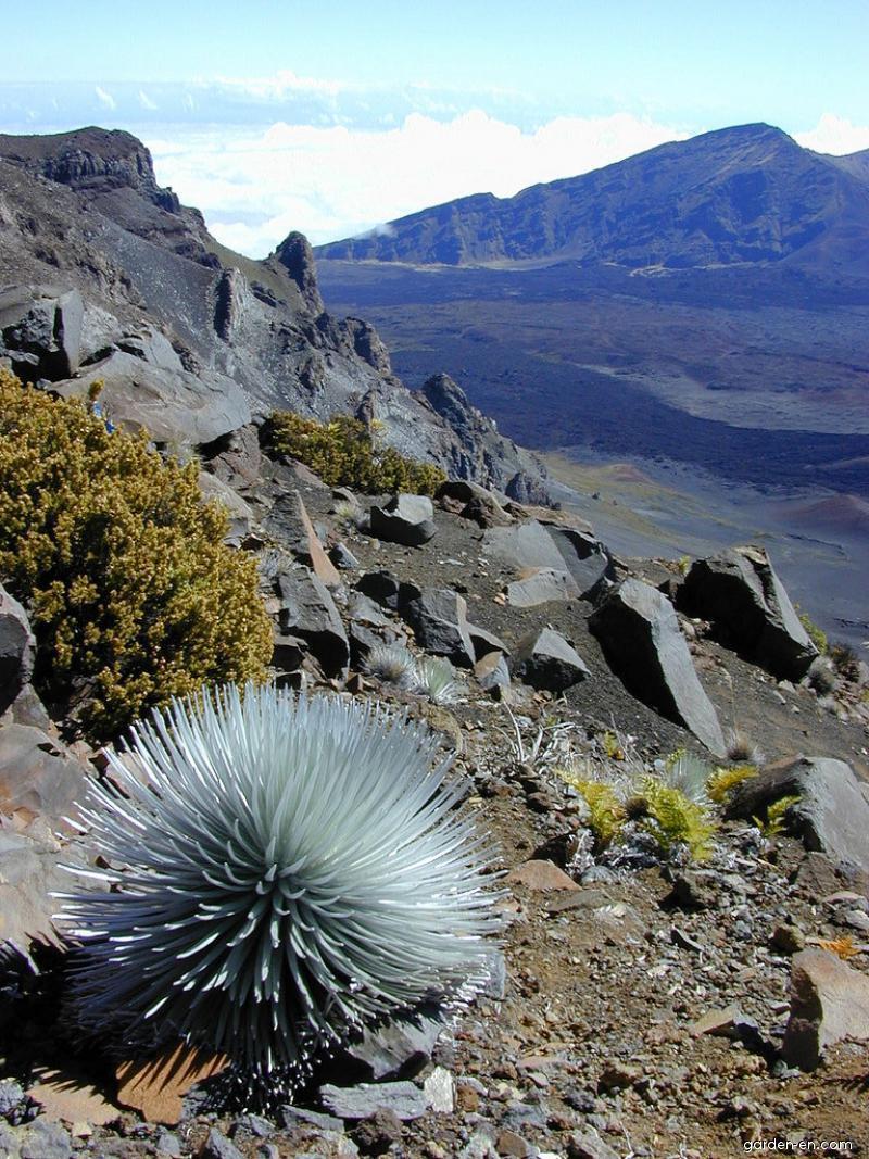 Haleakala silversword - habit (Argyroxiphium sandwicense subsp macrocephalum)