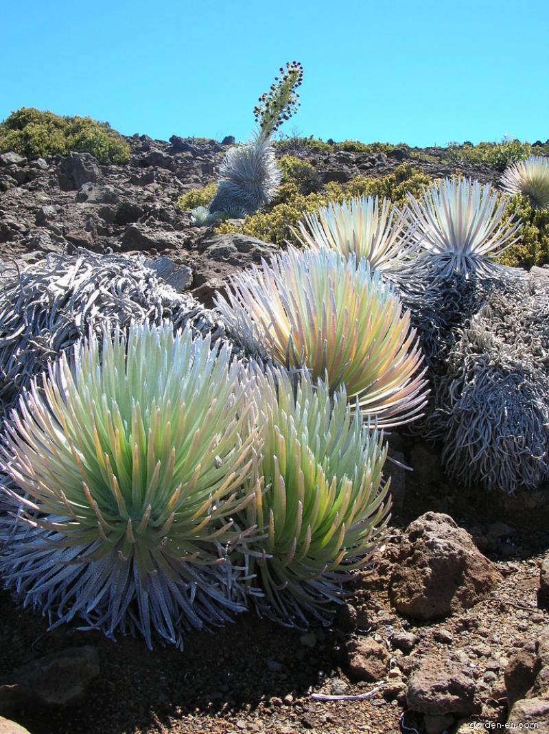 Haleakala silversword - flowering habit (Argyroxiphium sandwicense subsp macrocephalum)