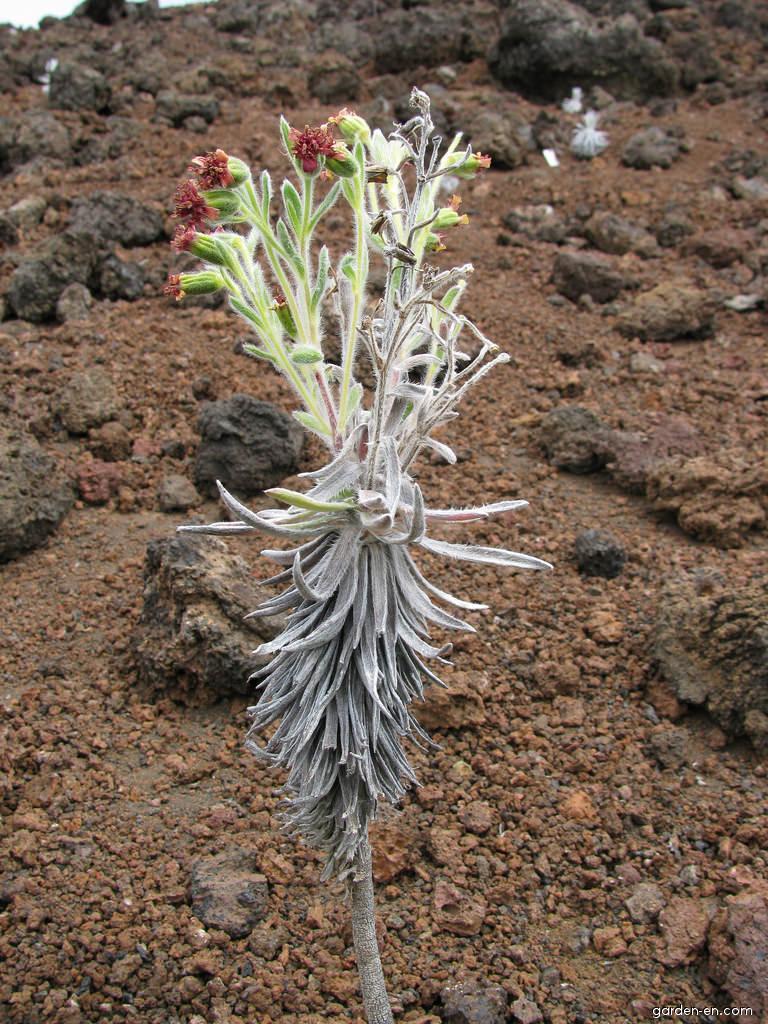 Silversword - flowering habit (Argyroxiphium)