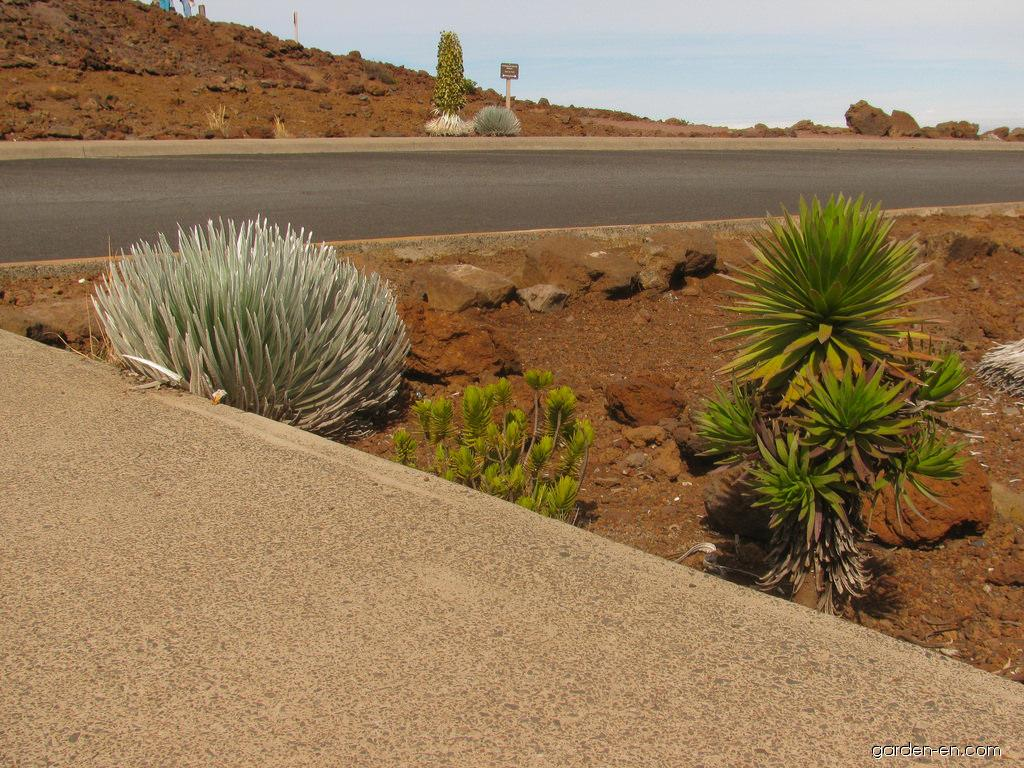 Silversword - hybrid and parents together (Argyroxiphium)
