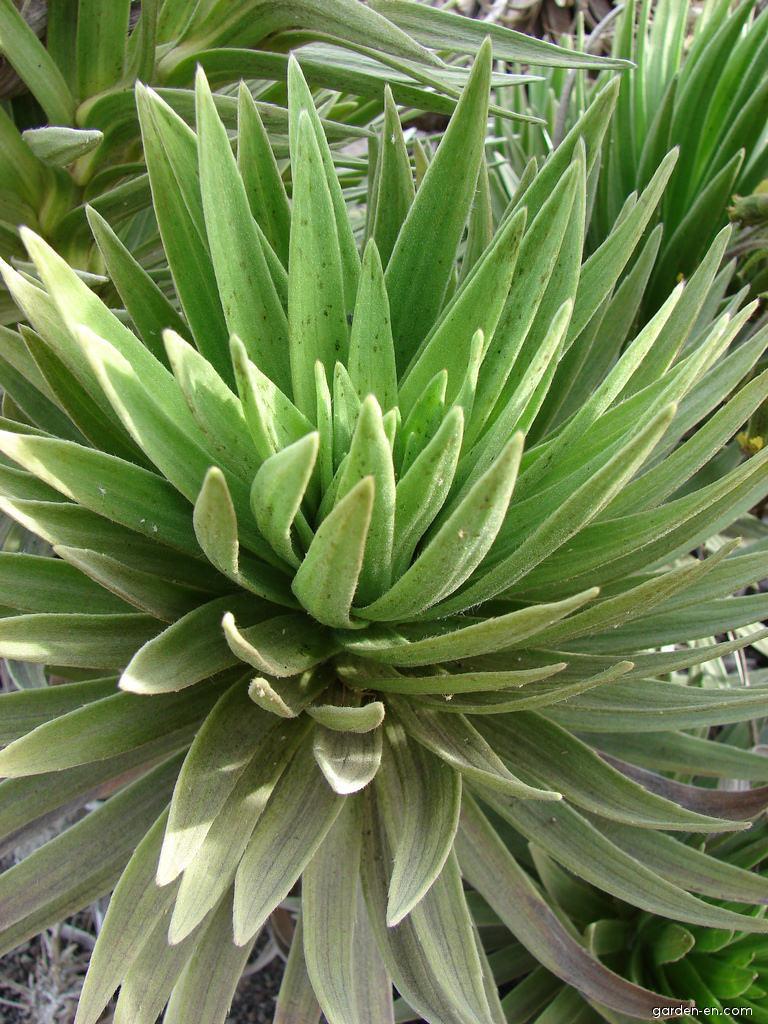 Silversword - leaves (Argyroxiphium)