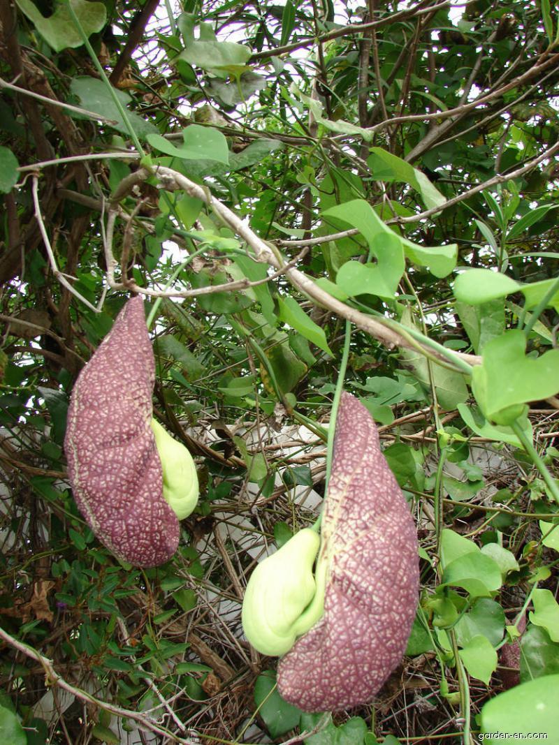 Calico flower - flowers and leaves (Aristolochia littoralis)