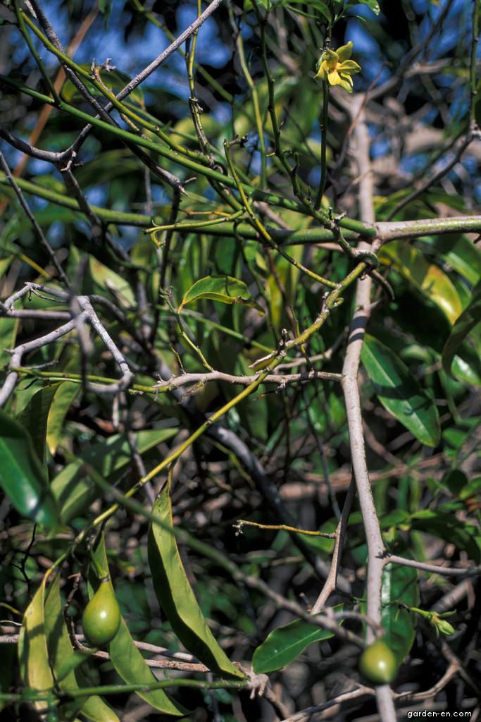 Climbing ylang-ylang - leaves, flowers, fruit (Artabotrys hexapetalus)