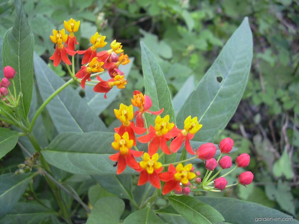 Bloodflower - flowers (Asclepias curassavica)