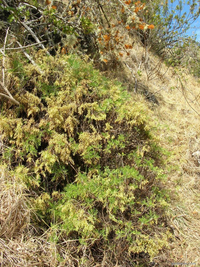 Maui Wormwood var diffusa - habit (Artemisia mauiensis)