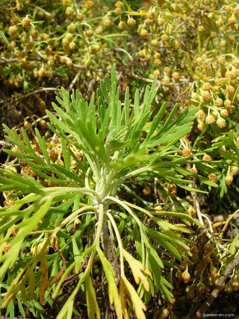Maui Wormwood var diffusa - leaves (Artemisia mauiensis)