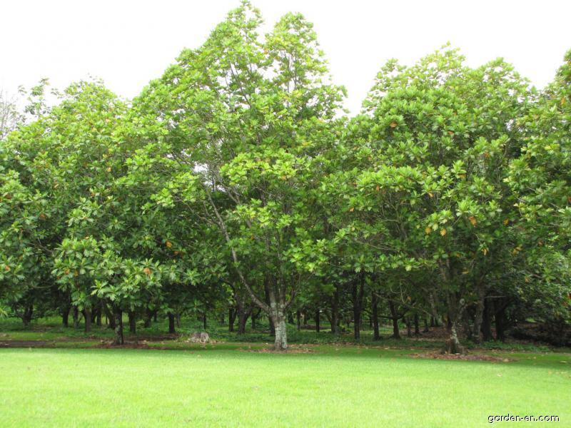 Breadfruit Tree - fruiting habit (Artocarpus altilis)
