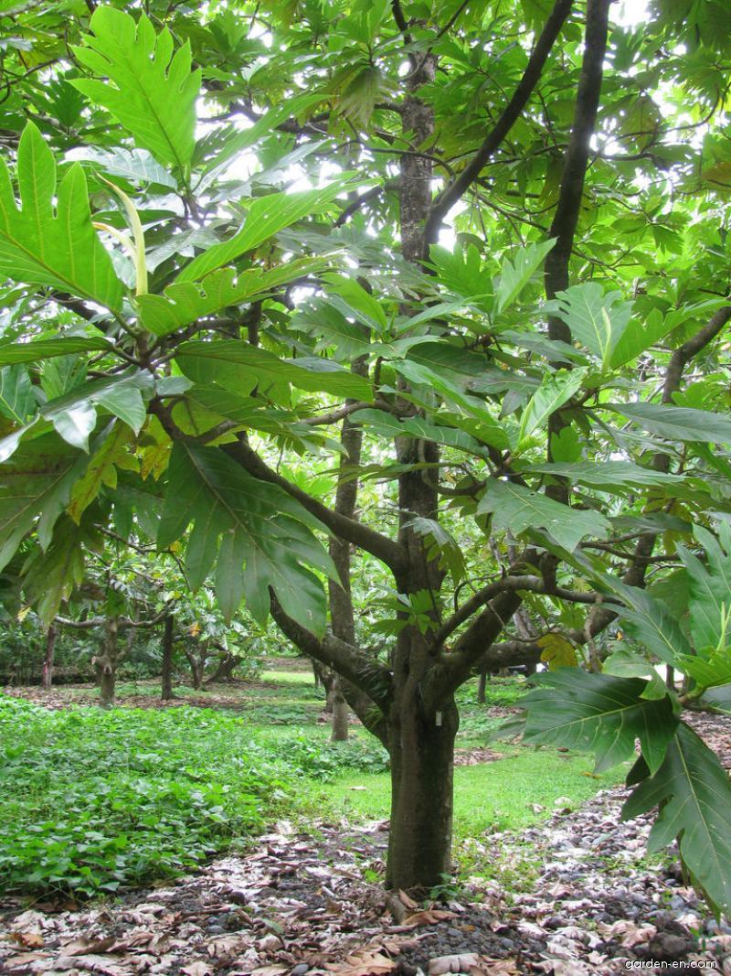 Breadfruit Tree - habit (Artocarpus altilis)