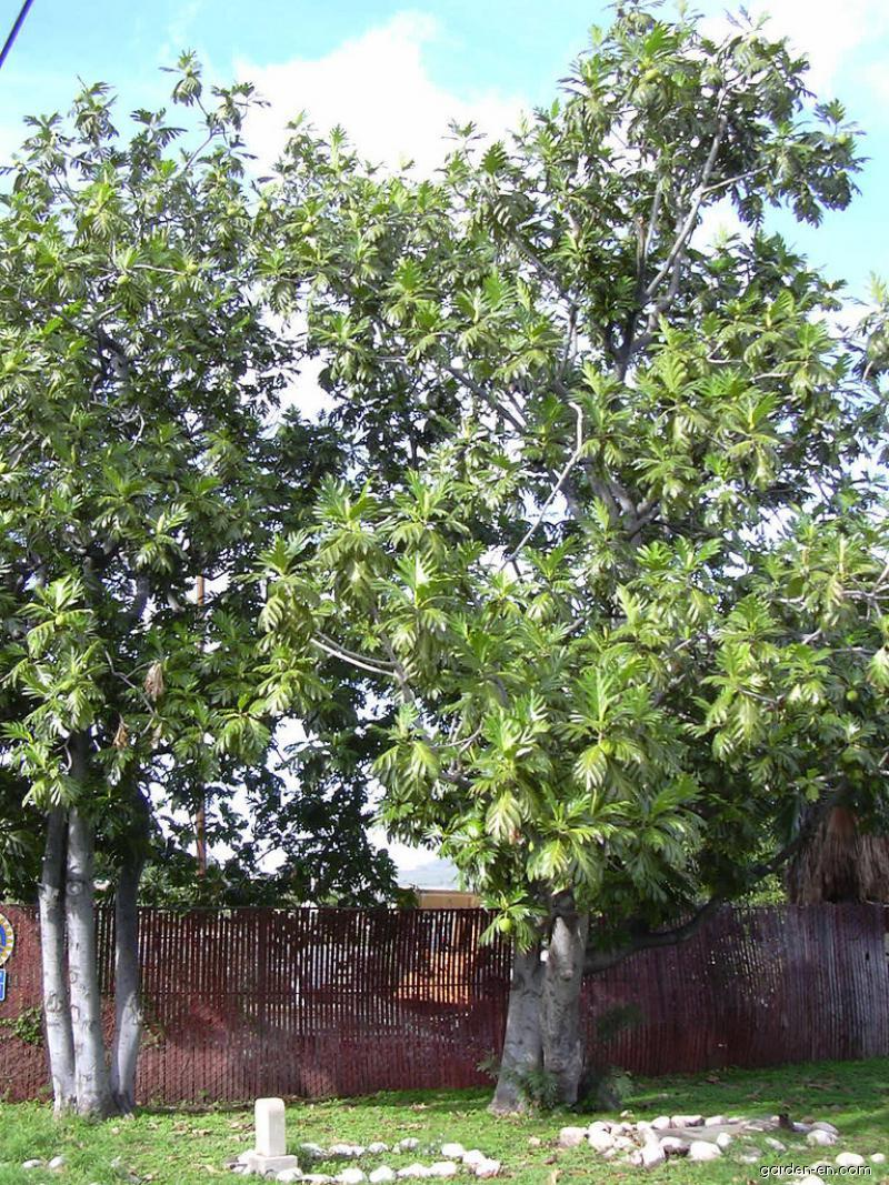 Breadfruit Tree - habit (Artocarpus altilis)