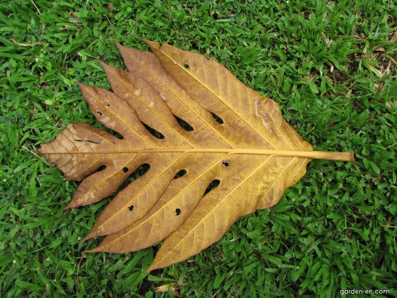 Breadfruit Tree - leaf on ground (Artocarpus altilis)