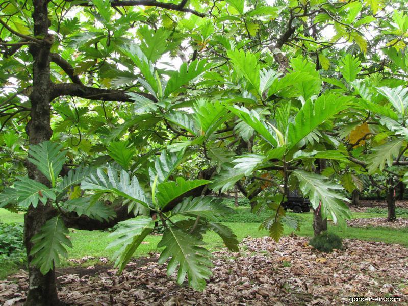 Breadfruit Tree - leaves (Artocarpus altilis)