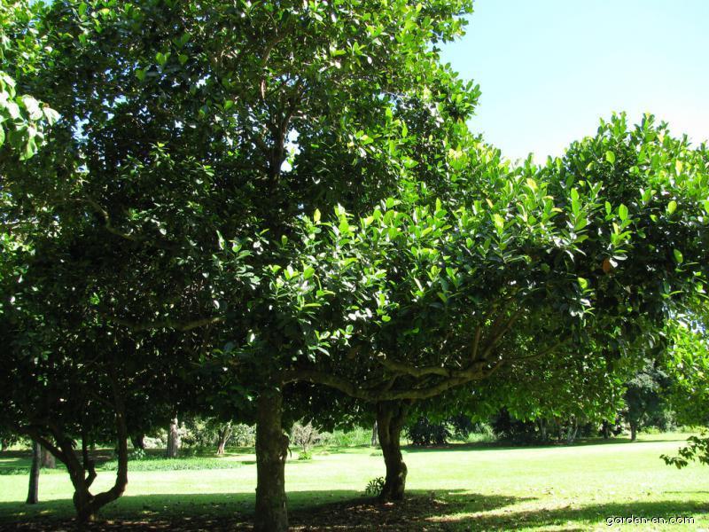 Jackfruit - habit (Artocarpus heterophyllus)