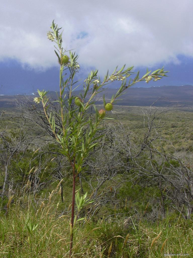 Balloon plant - habit (Asclepias physocarpa)