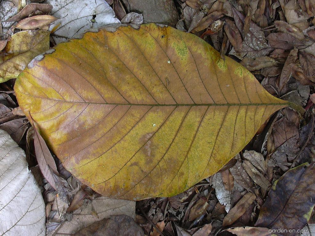 Marang - leaf (Artocarpus odoratissimus)