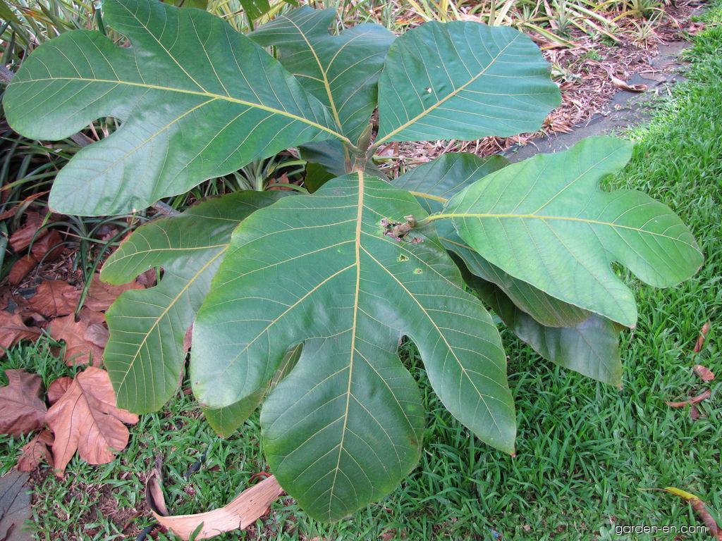 Marang - leaves (Artocarpus odoratissimus)