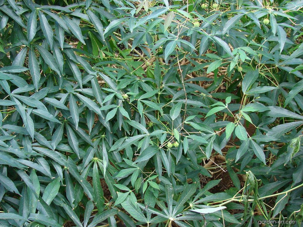 Cassava - habit (Manihot esculenta)