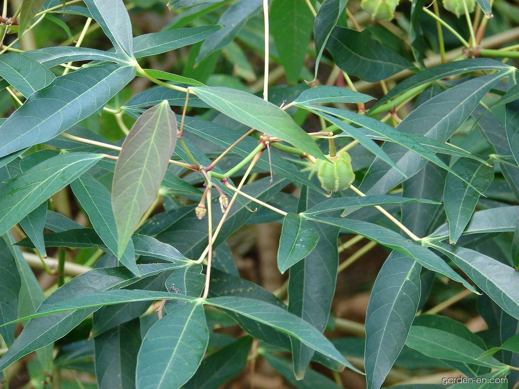 Cassava - leaves and fruit (Manihot esculenta)