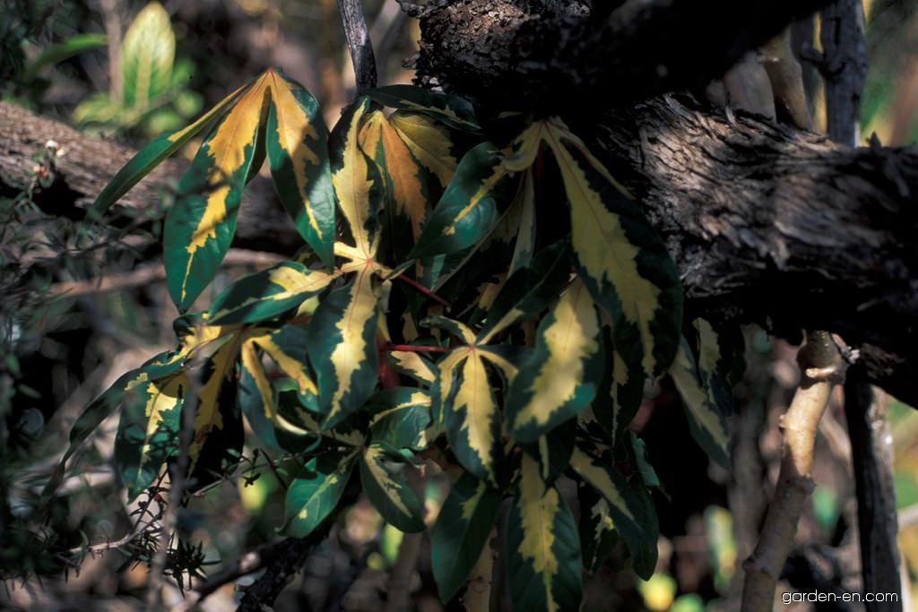 Cassava - variegata (Manihot esculenta)